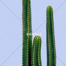 画像2: サボテン Cactus パープルBG ポスター (2)